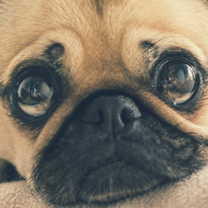 Your Ultimate Guide to Pet Insurance for a Pug