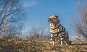Pug Clothes and Accessories: Dress Your Pug for the Occasion