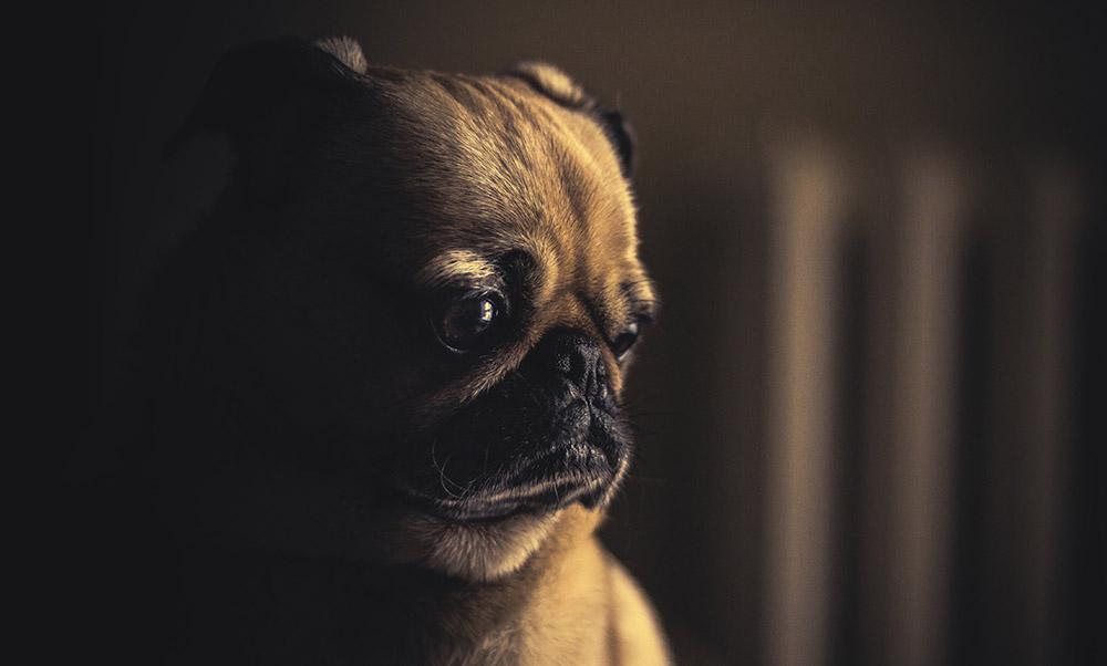 The Most Widespread Shih Tzu Eye Problems | Dog Breed