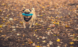 Are Pugs Easy to Train? Good Luck