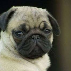 Are Pugs Expensive? The Real Cost of Buying and Owning a Pug