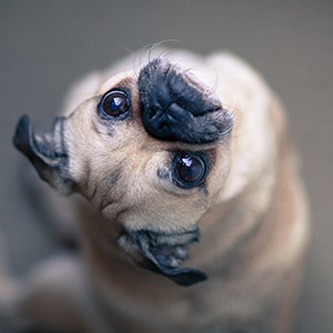 What Kind of Temperament Do Pugs Have?