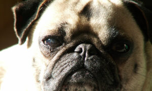 Is it Normal for Pugs to Breathe Heavily?