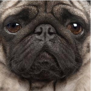 How to adopt or Rescue a Pug