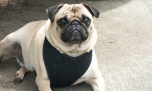 Why Pugs Need a Harness (and why they shouldn't Wear Collars on the Leash)