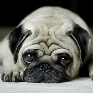 Everything You Should Know Before Getting a Pug